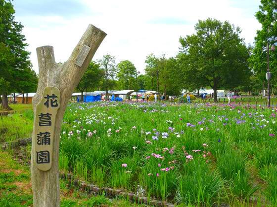 水元公園 花菖蒲園