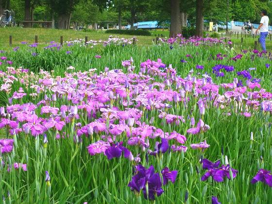 水元公園 花しょうぶ