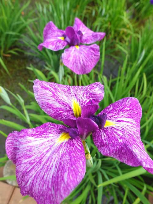 花しょうぶ 水元公園