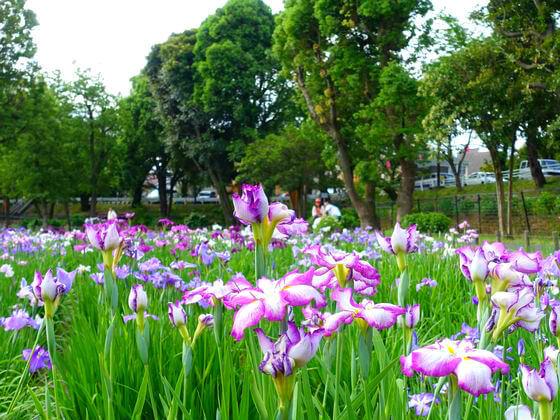 水元公園 菖蒲