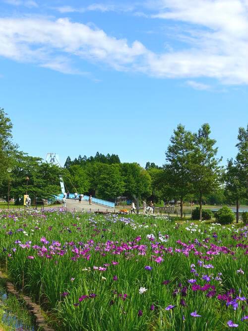水元公園 花菖蒲