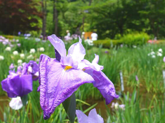 花しょうぶ 薬師池公園
