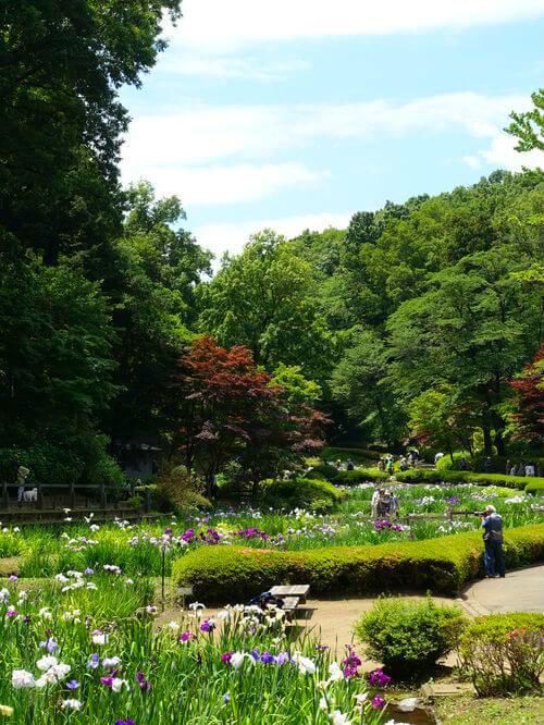 薬師池公園 花しょうぶ
