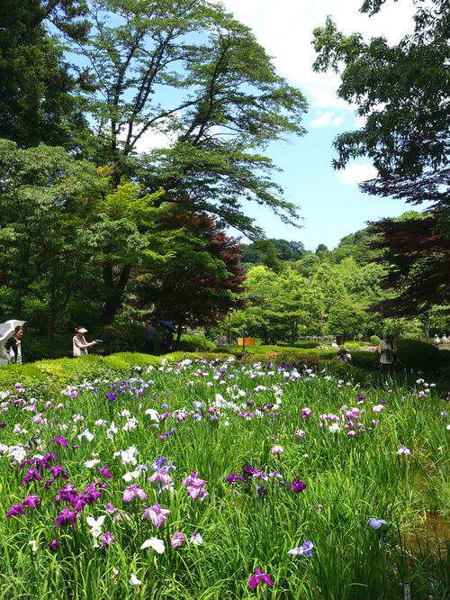 町田 薬師池公園 花しょうぶ