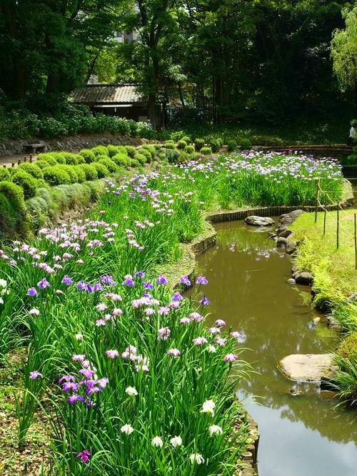 清澄庭園 ハナショウブ