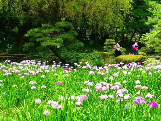 花菖蒲 清澄庭園