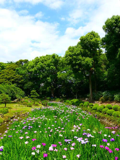 清澄庭園 花菖蒲 開花状況