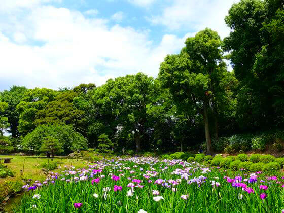 清澄庭園 花菖蒲