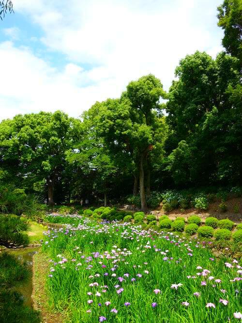花しょうぶ 清澄庭園