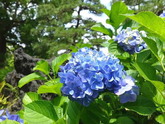 清澄庭園 アジサイ