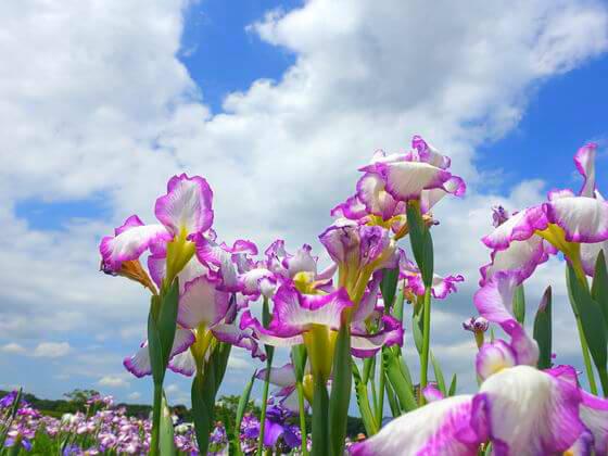 小岩菖蒲園 花しょうぶ