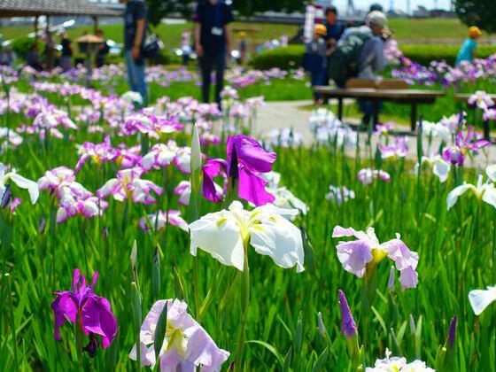小岩菖蒲園 開花状況