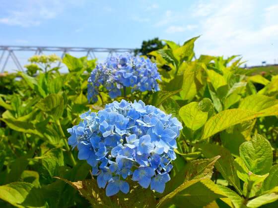 小岩菖蒲園 紫陽花