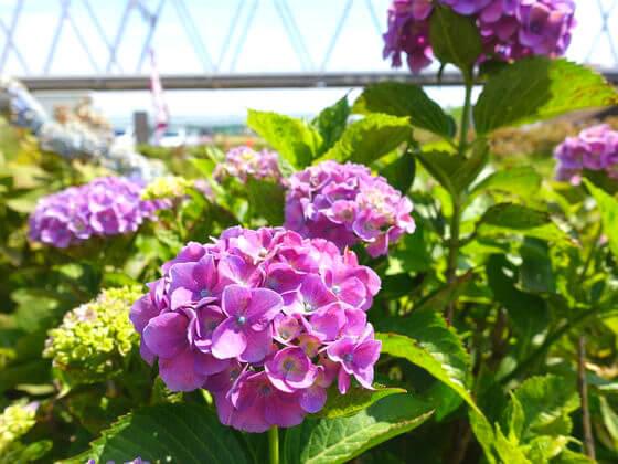 紫陽花 小岩菖蒲園