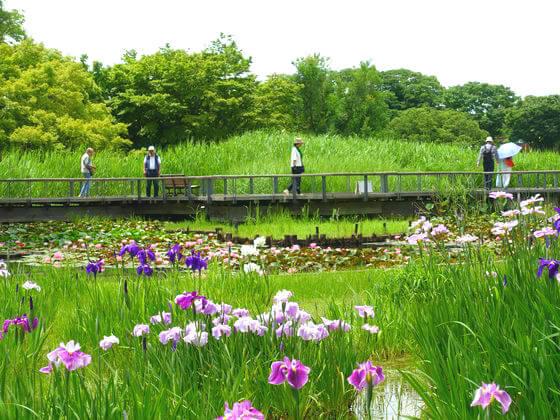 国営昭和記念公園 花菖蒲