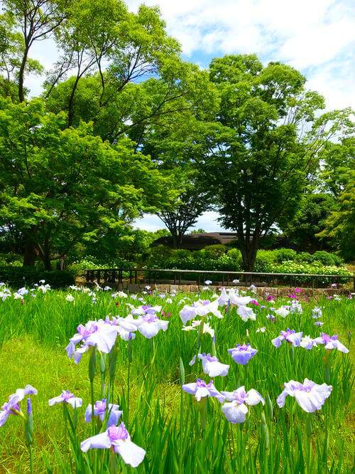 昭和記念公園 花しょうぶ