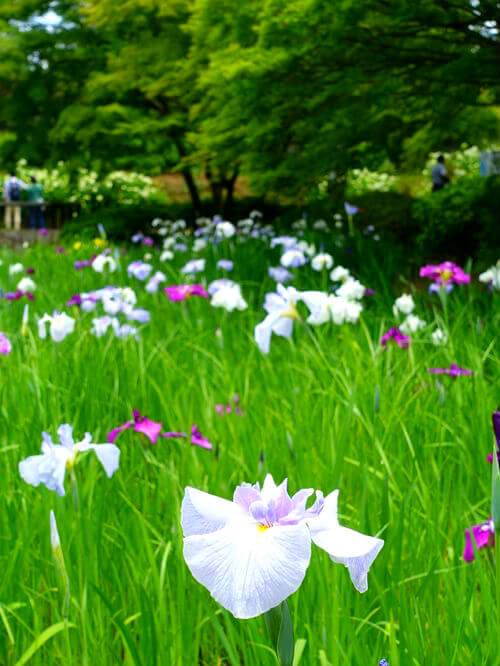 国営昭和記念公園 花しょうぶ