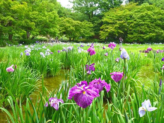 昭和記念公園 花菖蒲 開花状況