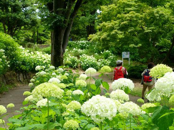 昭和記念公園 アナベル