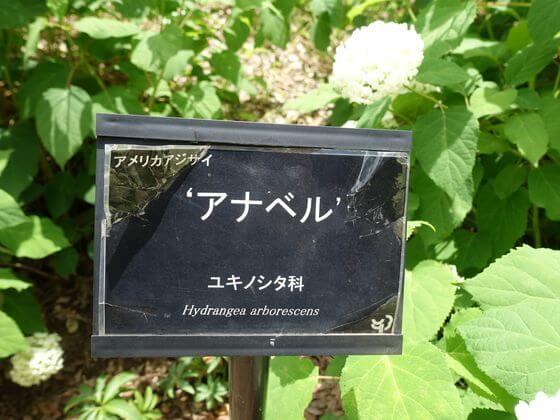 国営昭和記念公園 アジサイ