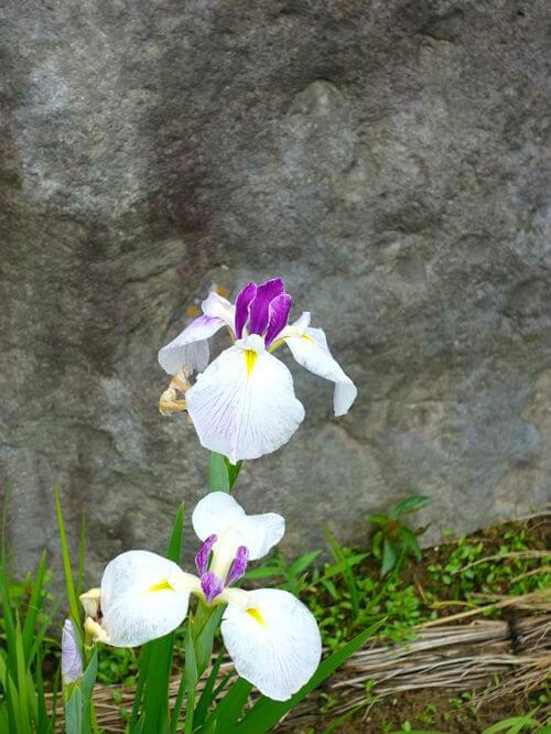昭和記念公園 日本庭園 ハナショウブ