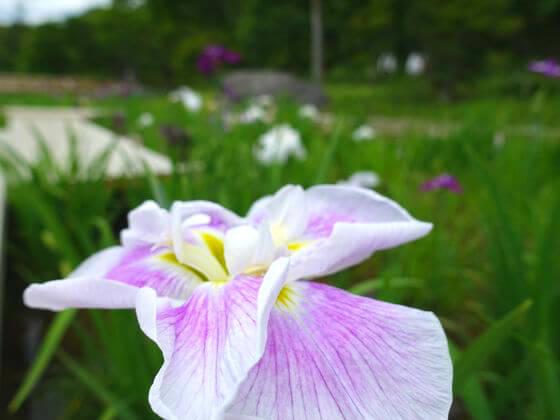 昭和記念公園 日本庭園 花しょうぶ