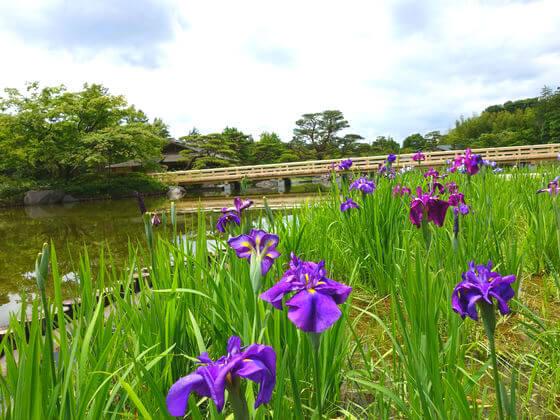 昭和記念公園 日本庭園 花菖蒲
