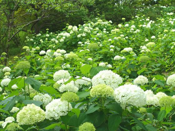 国営昭和記念公園 紫陽花