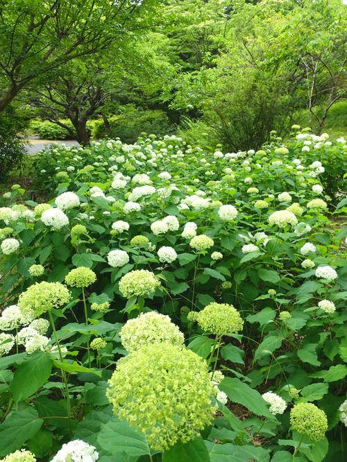 昭和記念公園 アジサイ