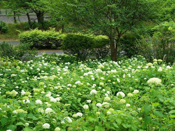 昭和記念公園 紫陽花