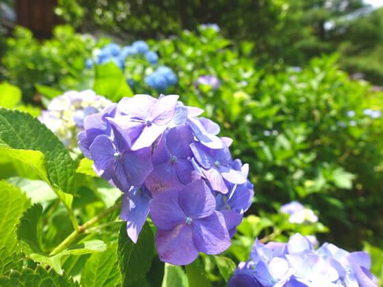 高幡不動 紫陽花