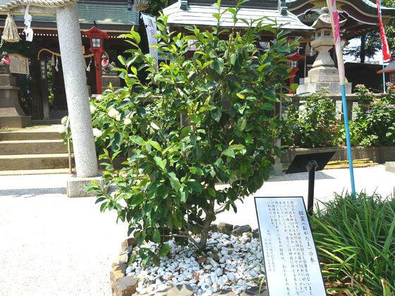 川越八幡宮 招霊の木