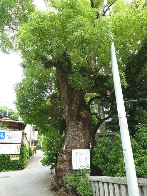 湯前神社 クスノキ