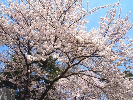 諏訪高島城 桜
