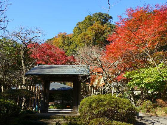 鎌倉 浄智寺 カエデ