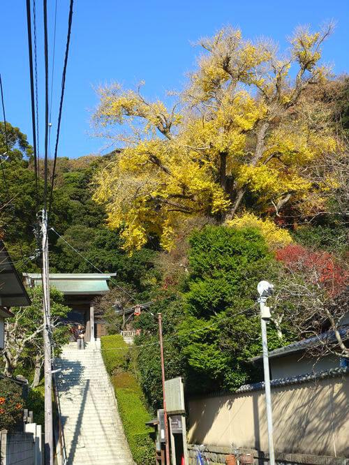 荏柄天神社 銀杏