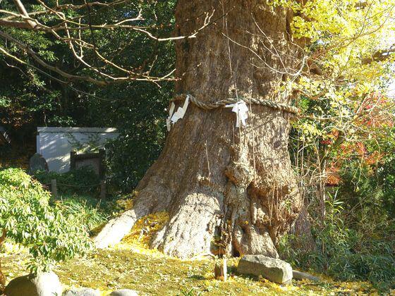 荏柄天神社 御神木