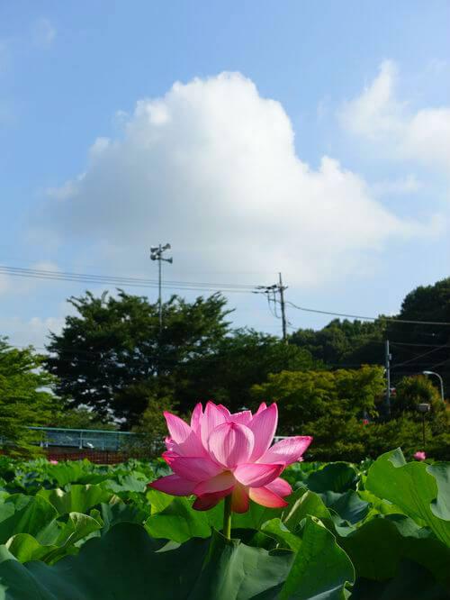 町田市 薬師池公園 蓮