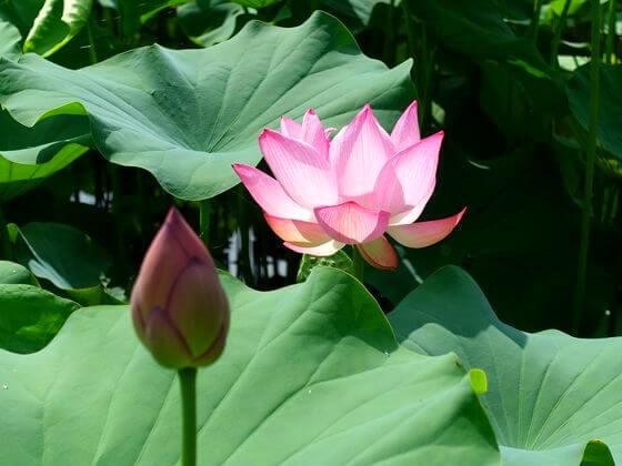 薬師池公園 蓮の花