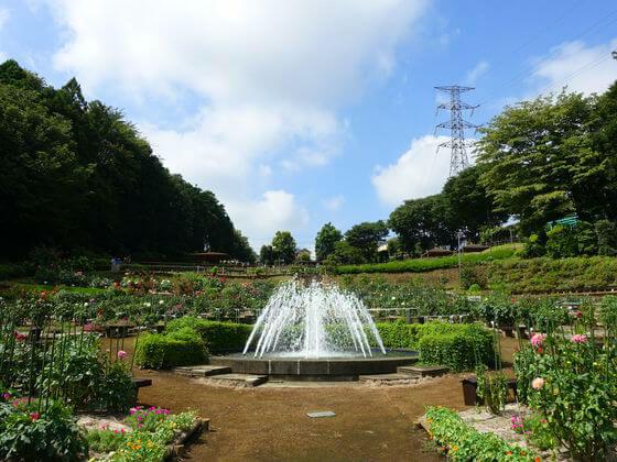 薬師池公園 ダリア