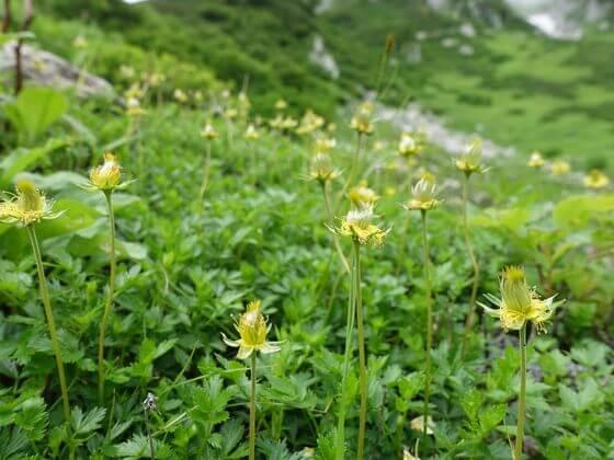 千畳敷カール 高原植物