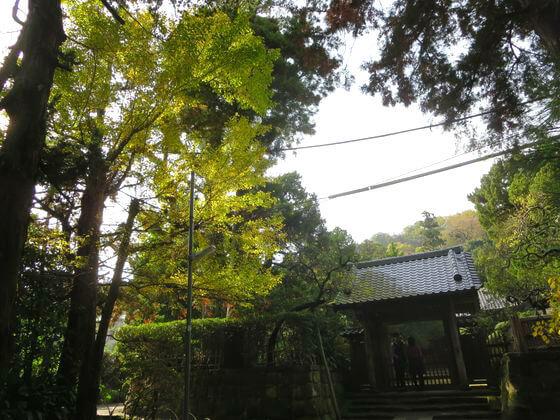 鎌倉 寿福寺 イチョウ