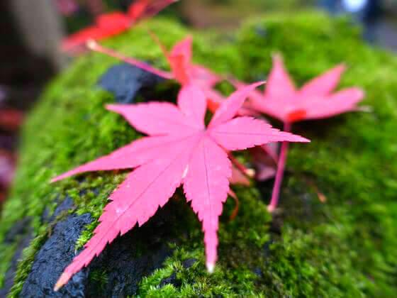 旧古河庭園 紅葉 見頃