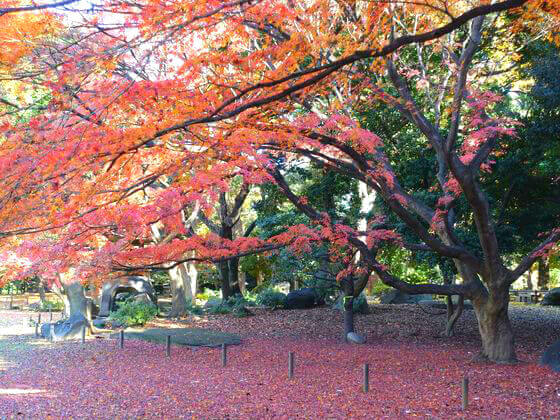 東京 旧岩崎邸庭園 紅葉