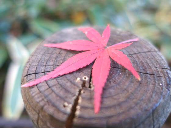 殿ヶ谷戸庭園 紅葉 見頃