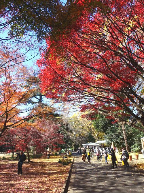新宿御苑 楓