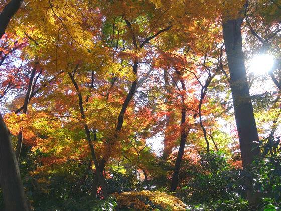新宿御苑 モミジ山 紅葉