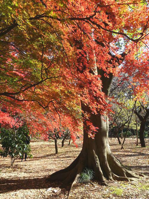 新宿御苑 モミジ山