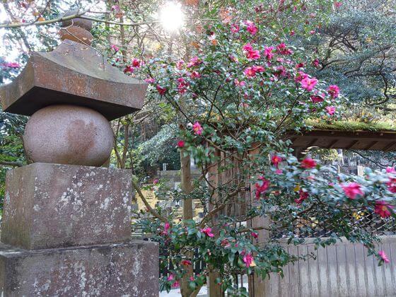 鎌倉 報国寺 つばき
