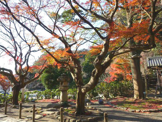 鎌倉宮 カエデ